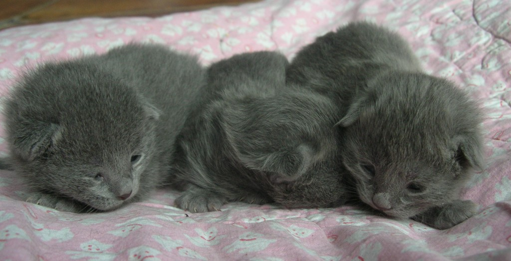 Kittens - the Grey !!! KittensD0008