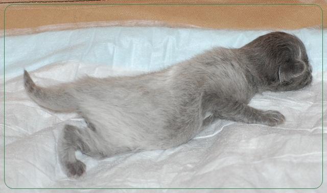New Nebelung kittens:-))) Nebelung5